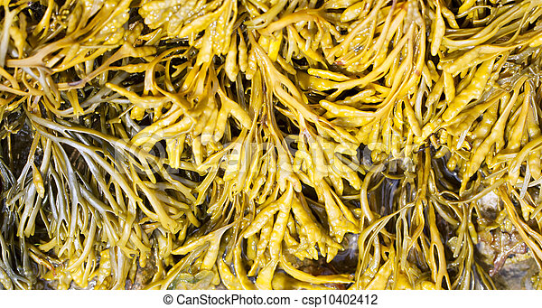 Channelled wrack, Pelvetia canaliculata - csp10402412