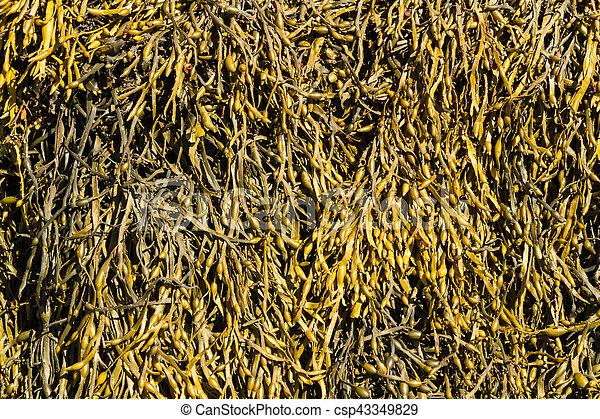 Closeup of seaweed Ascophyllum nodosum, commonly egg wrack. - csp43349829