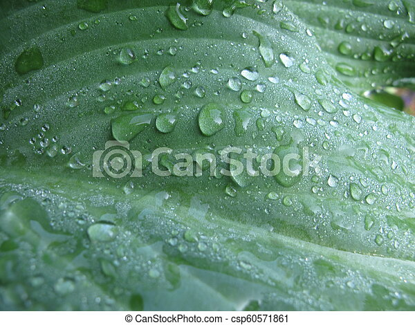 Closeup of wet hosta leaves with dew - csp60571861