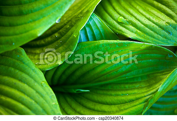 Green leaves of hosta with dew drops - csp20340874