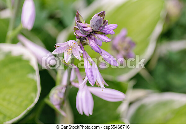 Hosta flowers with the drops of dew - csp55468716