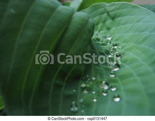 hosta plant with dew - csp0131447