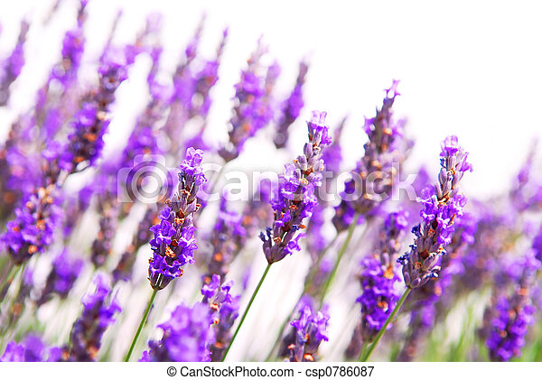 Lavender background - csp0786087