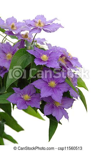 Purple Clematis - csp11560513