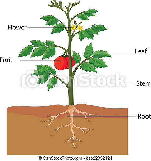 showing the parts of a tomato plant - csp22052124